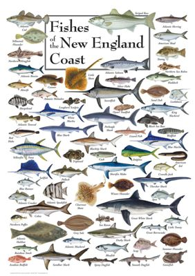 Fishes Of The New England Coast Regional Fish Poster Bass Pro Shops,Stargazing Lily Flowers