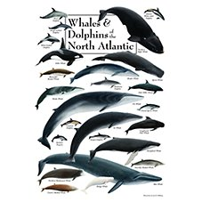 Whales & Dolphins of the North Atlantic Poster by Jon B. Hliberg