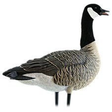 Avian-X AXP Active Lesser Canada Goose Decoy Pack