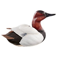 Wild Wings Alert Canvasback Decoy Sculpture by Sam Nottleman